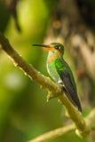 Colibrí brillante coronado verde Imágenes de archivo libres de regalías