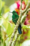 Colibrí brillante coronado verde Fotografía de archivo libre de regalías