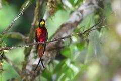 Colibrí brillante en selva tropical venezolana Fotografía de archivo libre de regalías