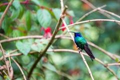 Colibrí colorido en Colombia Fotografía de archivo libre de regalías