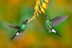 Colibrí con la flor anaranjada Dos colibrí que vuela, pájaro en mosca Escena de la acción con el colibrí Tourmaline Sunangel que  fotografía de archivo libre de regalías