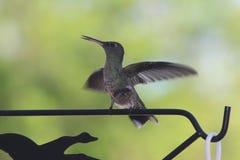 Colibrí Costa Rica Fotos de archivo