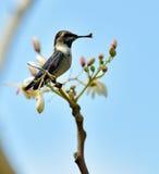 Colibrí cubano de la abeja (helenae de Mellisuga) Imagenes de archivo