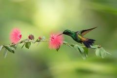 Colibrí del cobre-rumped que asoma al lado de la flor rosada de la mimosa, pájaro en vuelo, bosque tropical caribean, Trinidad an fotografía de archivo libre de regalías