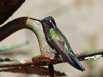 Colibrí en el bosque de la nube de Monteverde Foto de archivo