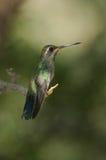 Colibrí encaramado Fotos de archivo