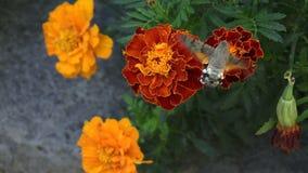 Colibrí Hawk Moth de la abeja metrajes