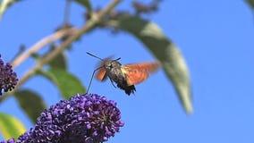 Colibrí Hawkmoth, stellatarum del macroglossum, adulto en vuelo, agitando las alas y alimentando en Buddleja o lila del verano metrajes
