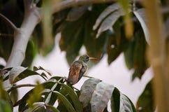 Colibrí / Hummingbird & x28;& x28;Amazilia costeña& x29;. Amazilia amazilia, the most common hummingbird in Lima, Peru, standing on a Pacae & x28;Inga feuille Royalty Free Stock Photo