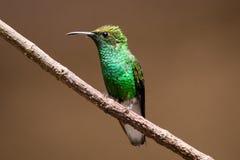 colibrí Inflexible-expresado Foto de archivo