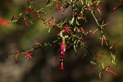 Colibrí Long-tailed en la Argentina fotografía de archivo libre de regalías