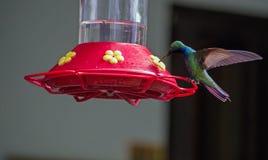colibrí Negro-throated del mango, Trinidad y Tobago Fotos de archivo