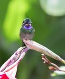colibrí Púrpura-throated del varón de la Montaña-gema Imagen de archivo libre de regalías