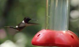 Colibrí que asoma en la reserva biológica de Monteverde, Costa Rica Foto de archivo libre de regalías
