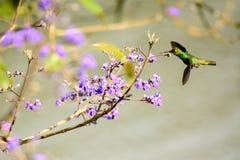 Colibrí que revolotea de la flor a la flor Imagen de archivo libre de regalías