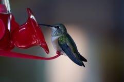 Colibrí que se sienta en un alimentador rojo Foto de archivo libre de regalías