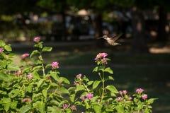 Colibrí que vuela sobre el Lantana Bush en Sunny Day fotografía de archivo