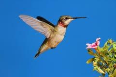 colibrí Rubí-throated Fotos de archivo