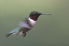colibrí Rubí-throated Imagen de archivo
