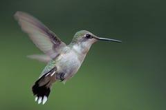 colibrí Rubí-throated Imagenes de archivo