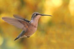 colibrí Rubí-throated Fotos de archivo libres de regalías