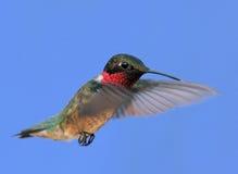 colibrí Rubí-throated Imágenes de archivo libres de regalías