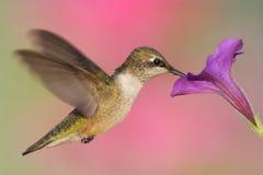 colibrí Rubí-throated imagen de archivo libre de regalías