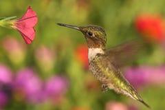 colibrí Rubí-throated en un alimentador Imágenes de archivo libres de regalías