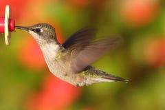 colibrí Rubí-throated en un alimentador Fotos de archivo
