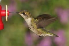 colibrí Rubí-throated en un alimentador Imagen de archivo libre de regalías