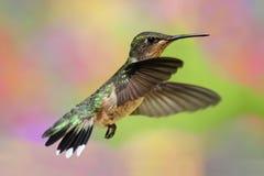 colibrí Rubí-throated en vuelo Imágenes de archivo libres de regalías