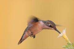 colibrí Rubí-throated en vuelo Fotos de archivo