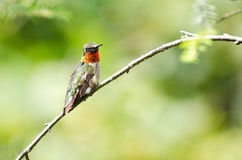Colibrí Rubí-Throated encaramado en un árbol imágenes de archivo libres de regalías