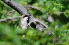 Colibrí Rubí-Throated encaramado en un árbol imagen de archivo