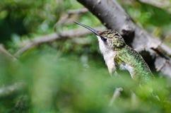 Colibrí Rubí-Throated encaramado en un árbol Imagenes de archivo