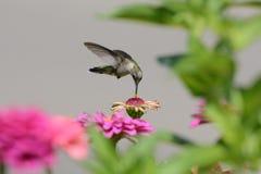 colibrí Ruby-throated Imagen de archivo libre de regalías