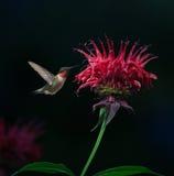 colibrí Ruby-throated en bálsamo de abeja Imagen de archivo