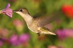 colibrí Ruby-throated en una flor Imagenes de archivo
