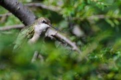 Colibrí Ruby-Throated encaramado en un árbol Foto de archivo libre de regalías