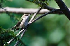 Colibrí Ruby-Throated encaramado en un árbol Fotos de archivo