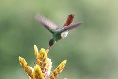 colibrí Rufo-atado Fotografía de archivo libre de regalías