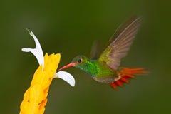 Colibrí Rufo-atado colibrí Colibrí con el fondo verde claro en Ecuador Colibrí en el hábitat de la naturaleza Humm Imágenes de archivo libres de regalías
