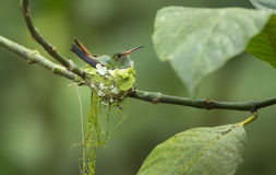 colibrí Rufo-atado, tzacatl de Amazilia Foto de archivo libre de regalías