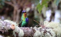 Colibrí Throated ardiente en Costa Rica Fotografía de archivo