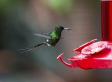 Colibrí verde de Thorntail Imágenes de archivo libres de regalías
