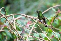 Colibrí verde en Colombia Fotos de archivo libres de regalías