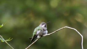 Colibrí verde minúsculo que se sienta en vid en verano almacen de metraje de vídeo