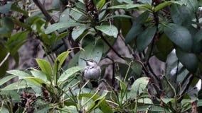 Colibrí verde que riza sus plumas y que mira alrededor almacen de metraje de vídeo
