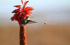 Colibrí y abeja Fotografía de archivo libre de regalías