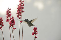Colibrí y flor foto de archivo libre de regalías